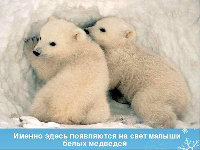 Именно здесь появляются на свет малыши белых медведей