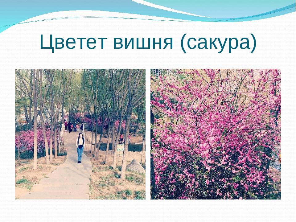 Цветет вишня (сакура)