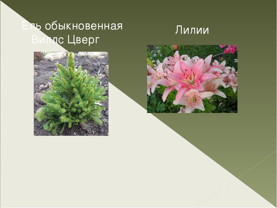 Ельобыкновенная ВиллсЦверг Лилии