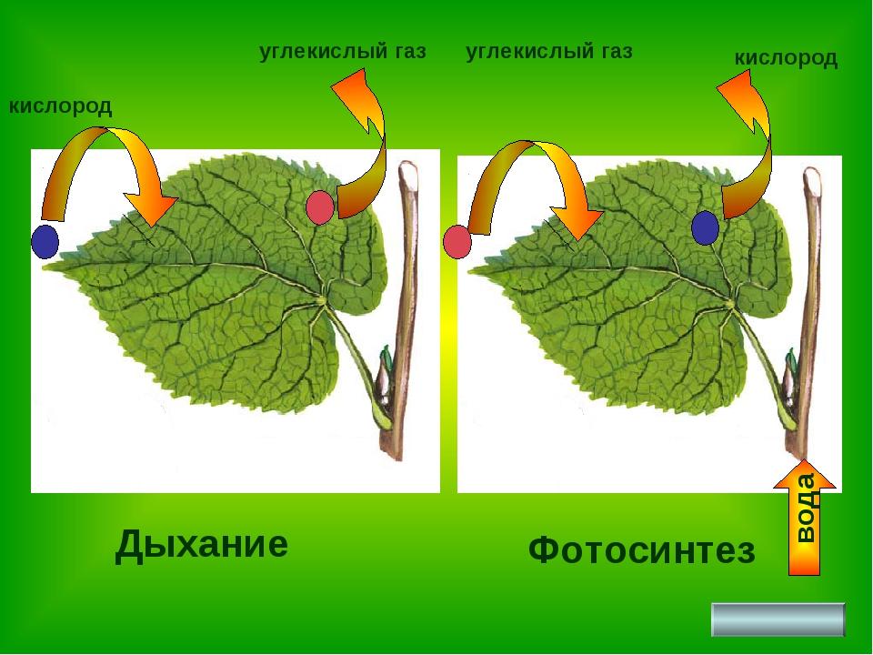 Фотосинтез Дыхание кислород углекислый газ вода кислород углекислый газ