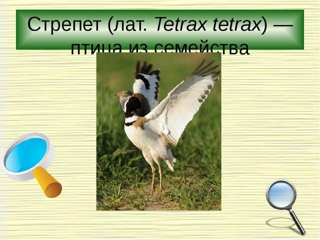 Стрепет(лат.Tetrax tetrax)— птица из семейства дрофиные.