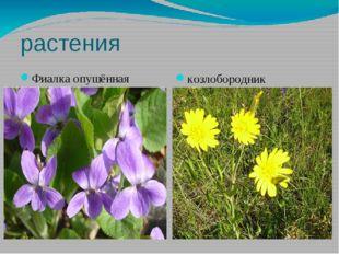 растения Фиалка опушённая козлобородник