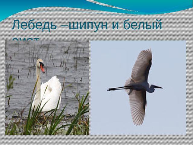 Лебедь –шипун и белый аист