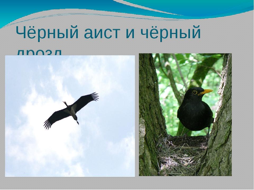 Чёрный аист и чёрный дрозд
