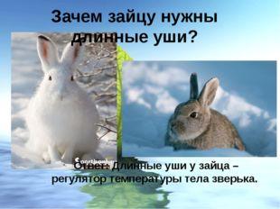 Ответ: Длинные уши у зайца – регулятор температуры тела зверька. Зачем зайцу