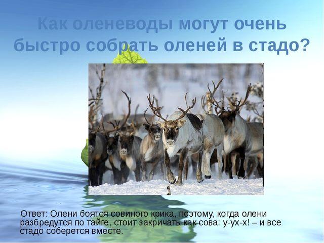 Как оленеводы могут очень быстро собрать оленей в стадо? Ответ: Олени боятся...