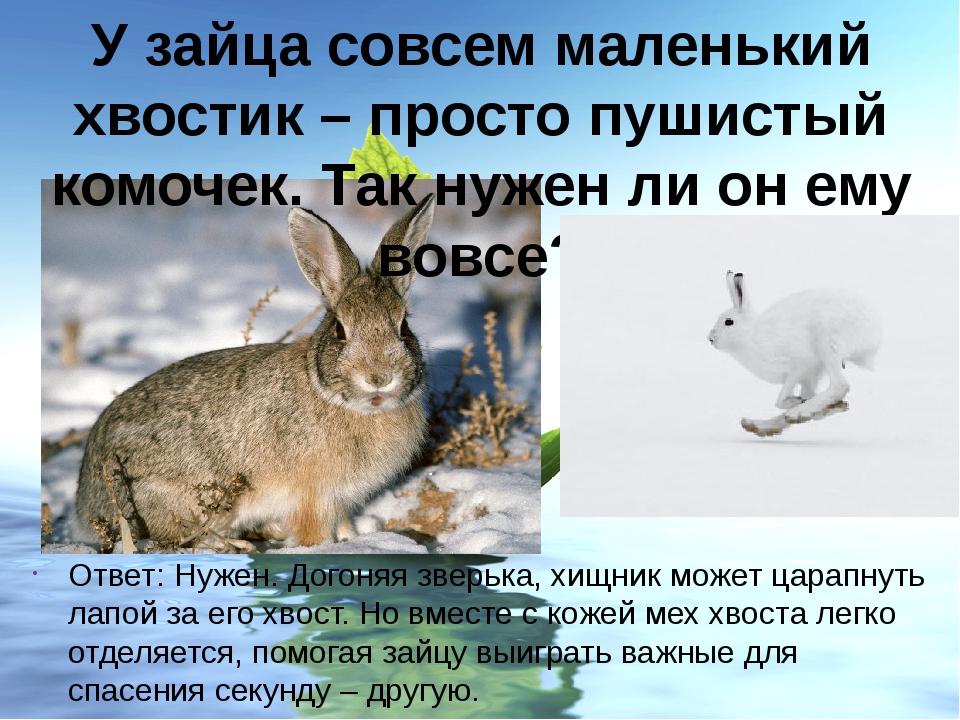 У зайца совсем маленький хвостик – просто пушистый комочек. Так нужен ли он е...