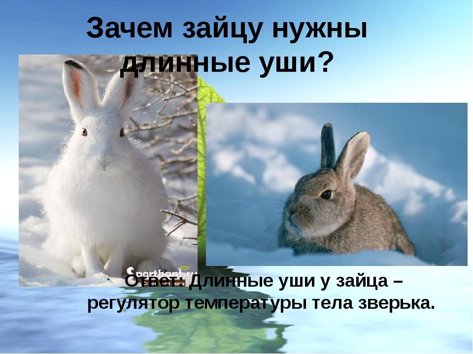 Ответ: Длинные уши у зайца – регулятор температуры тела зверька. Зачем зайцу...