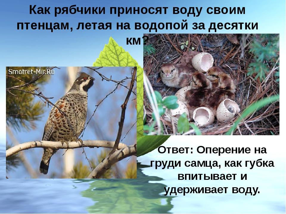 Как рябчики приносят воду своим птенцам, летая на водопой за десятки км? Отве...