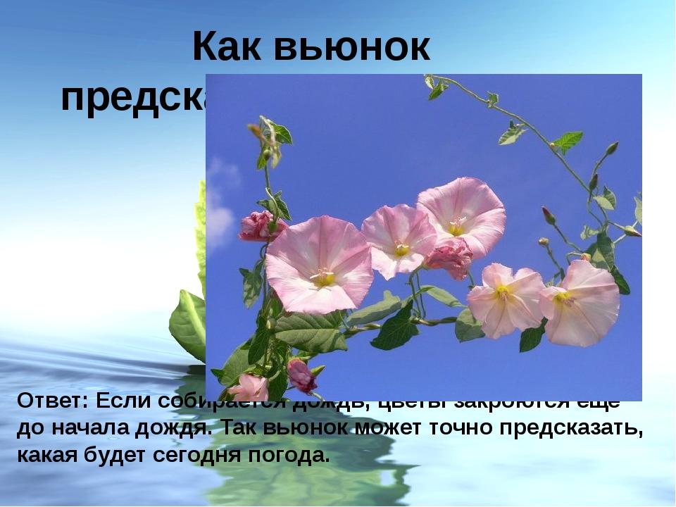 Как вьюнок предсказывает погоду? Ответ: Если собирается дождь, цветы закроютс...