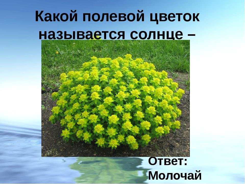 Какой полевой цветок называется солнце – глазом? Ответ: Молочай