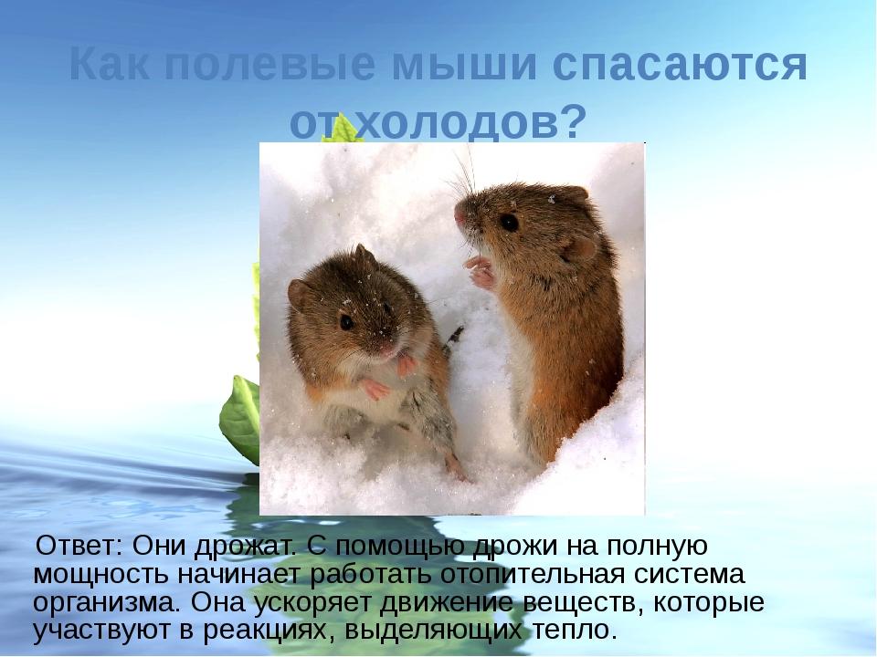Как полевые мыши спасаются от холодов? Ответ: Они дрожат. С помощью дрожи на...