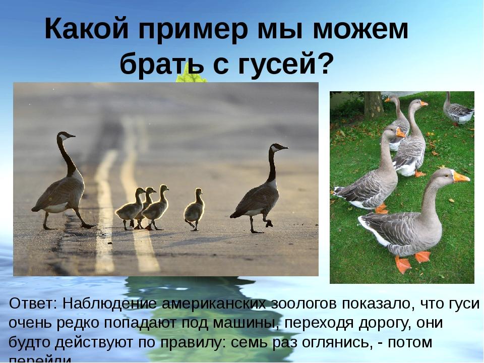 Какой пример мы можем брать с гусей? Ответ: Наблюдение американских зоологов...