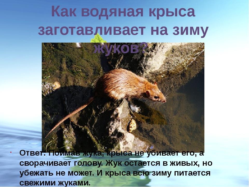 Как водяная крыса заготавливает на зиму жуков? Ответ: Поймав жука, крыса не у...