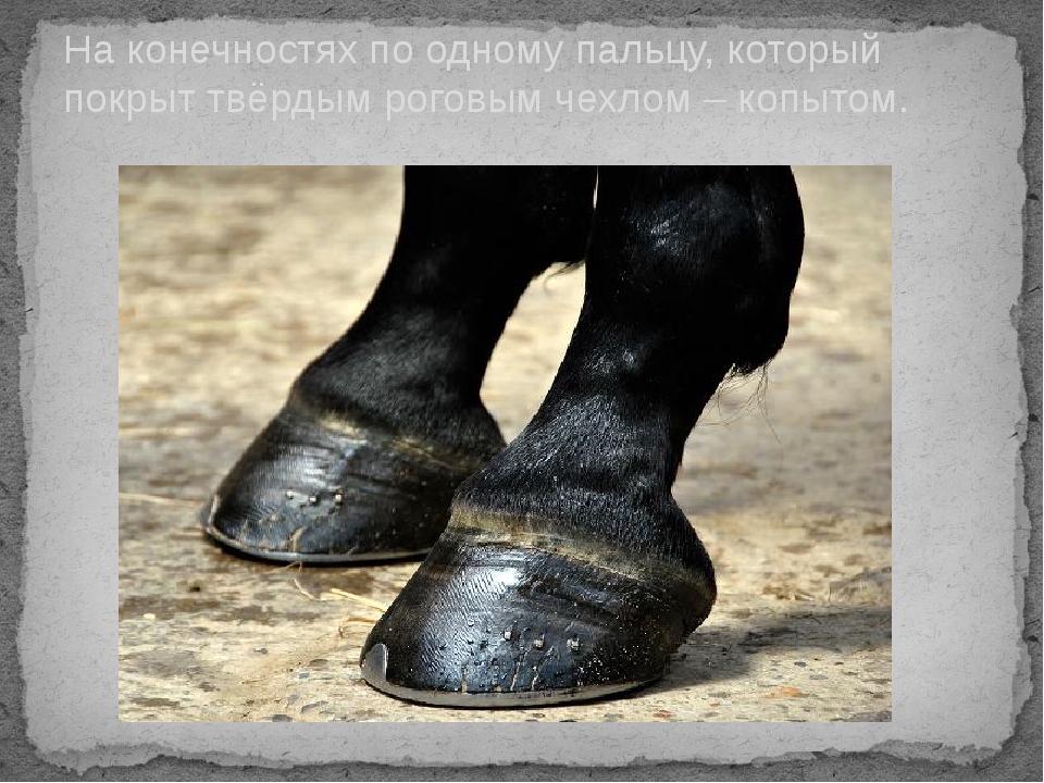 На конечностях по одному пальцу, который покрыт твёрдым роговым чехлом – копы...