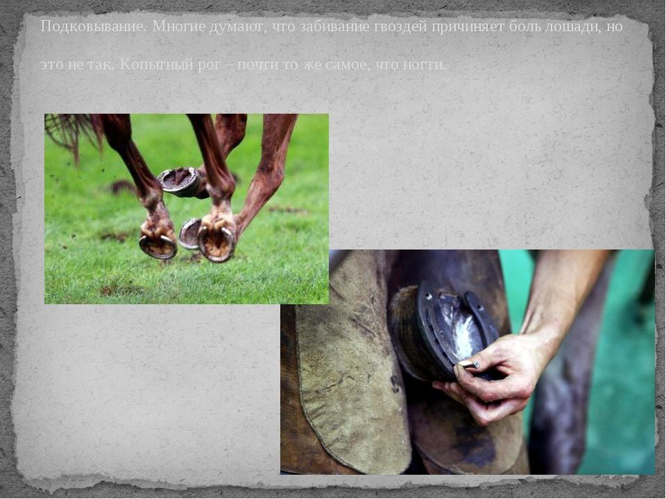 Подковывание. Многие думают, что забивание гвоздей причиняет боль лошади, но...