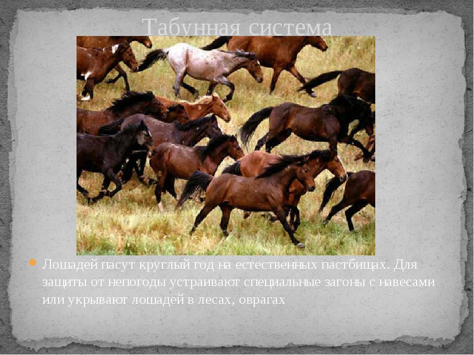 Табунная система Лошадей пасут круглый год на естественных пастбищах. Для защ...