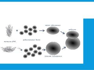 Синтез рибосомы из молекул р РНК и рибосомальных белков