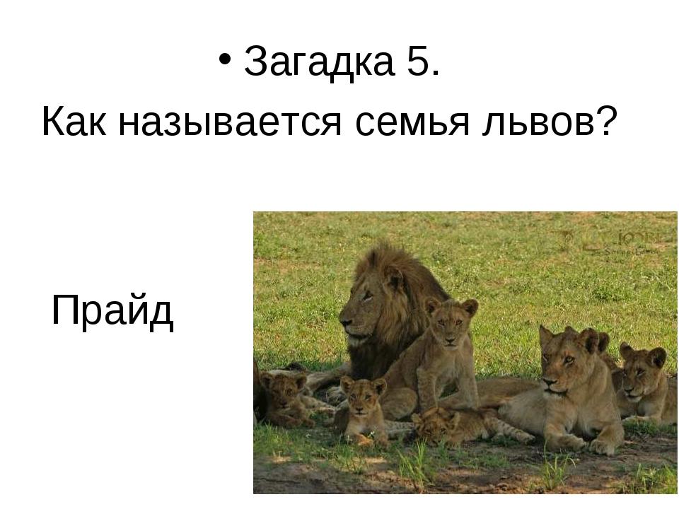 Прайд Загадка 5. Как называется семья львов? *