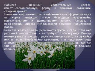 Нарцисс —нежный, удивительный цветок, имеетнеобыкновенную форму и сильный,