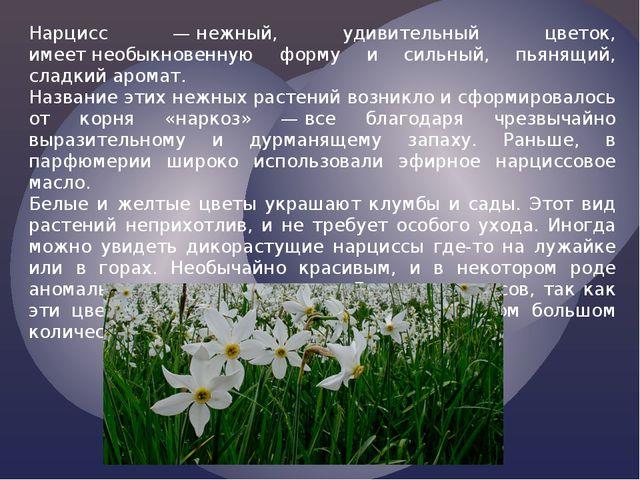 Нарцисс —нежный, удивительный цветок, имеетнеобыкновенную форму и сильный,...