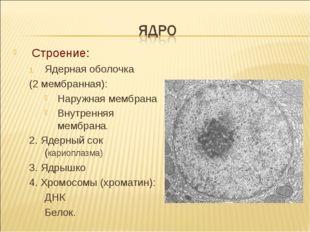 Строение: Ядерная оболочка (2 мембранная): Наружная мембрана Внутренняя мембр