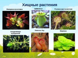 Хищные растения Росянка круглолистная Альдрованда пузырчатая Непнтес Лоу Вене