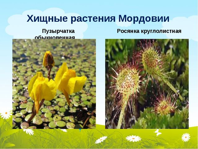 Хищные растения Мордовии Росянка круглолистная Пузырчатка обыкновенная