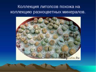 Коллекция литопсов похожа на коллекцию разноцветных минералов.