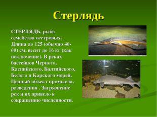 Стерлядь СТЕРЛЯДЬ, рыба семейства осетровых. Длина до 125 (обычно 40-60) см,