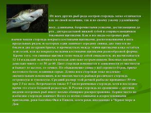 От всех других рыб рода осетров стерлядь легко отличается как по своей велич