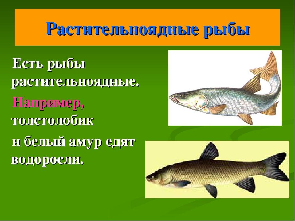 Растительноядные рыбы Есть рыбы растительноядные. Например, толстолобик и бел...