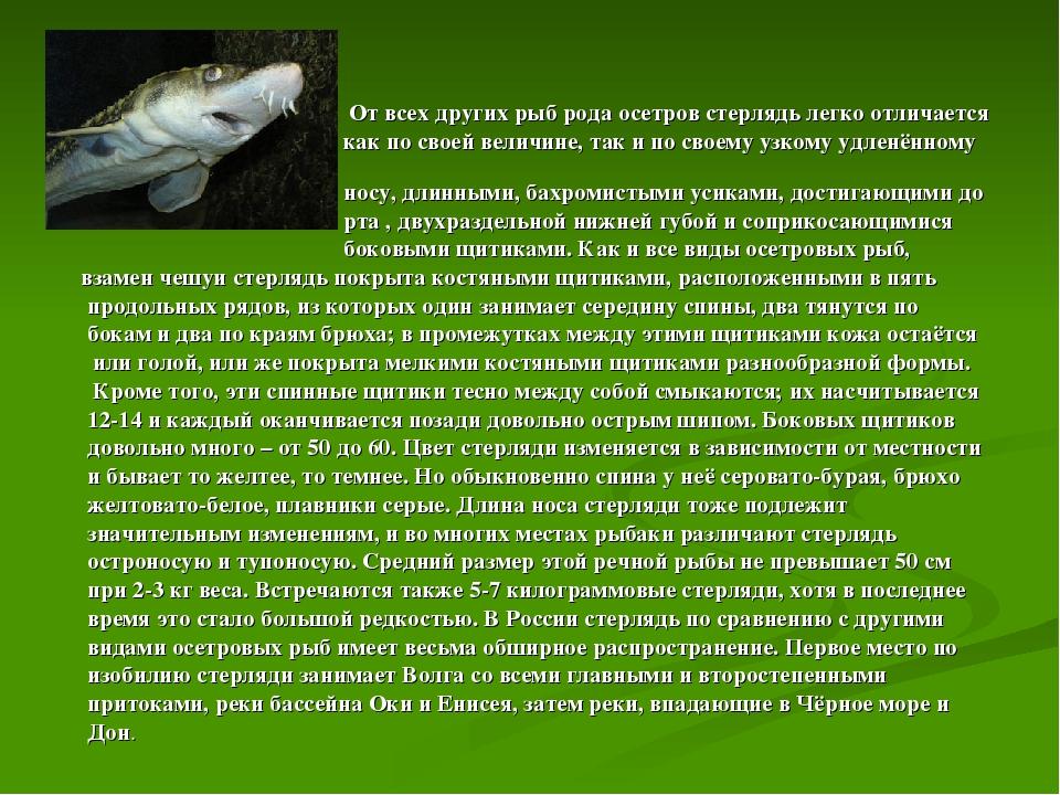 От всех других рыб рода осетров стерлядь легко отличается как по своей велич...