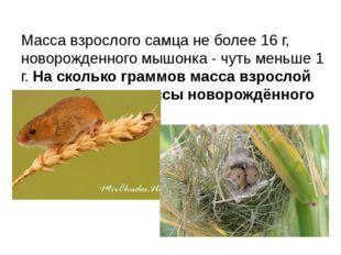 Масса взрослого самца не более 16 г, новорожденного мышонка - чуть меньше 1 г