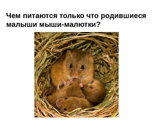 Чем питаются только что родившиеся малыши мыши-малютки?