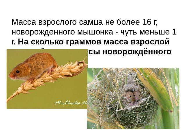 Масса взрослого самца не более 16 г, новорожденного мышонка - чуть меньше 1 г...