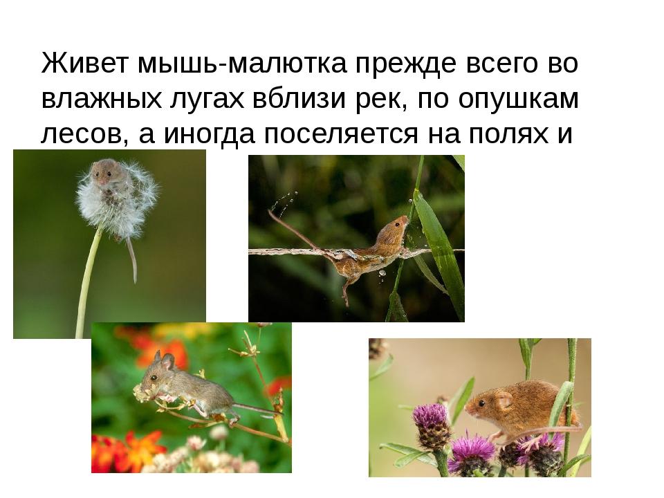 Живет мышь-малютка прежде всего во влажных лугах вблизи рек, по опушкам лесов...