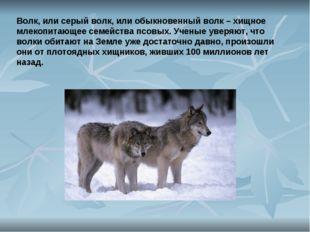 Волк, или серый волк, или обыкновенный волк – хищное млекопитающее семейства