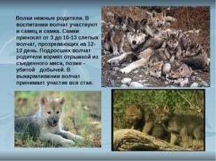 Волки нежные родители. В воспитании волчат участвуют и самец и самка. Самки