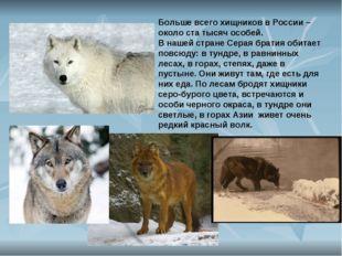 Больше всего хищников в России – около ста тысяч особей. В нашей стране Серая