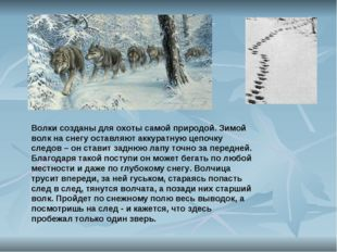 Волки созданы для охоты самой природой. Зимой волк на снегу оставляют аккурат