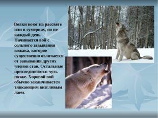 Волки воют на рассвете или в сумерках, но не каждый день. Начинается вой с с