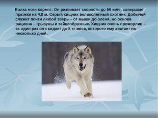 Волка ноги кормят. Он развивает скорость до 56 км/ч, совершает прыжки на 4,8