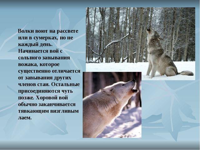 Волки воют на рассвете или в сумерках, но не каждый день. Начинается вой с с...