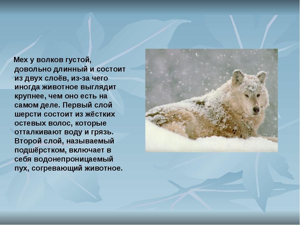 Мех у волков густой, довольно длинный и состоит из двух слоёв, из-за чего ин...