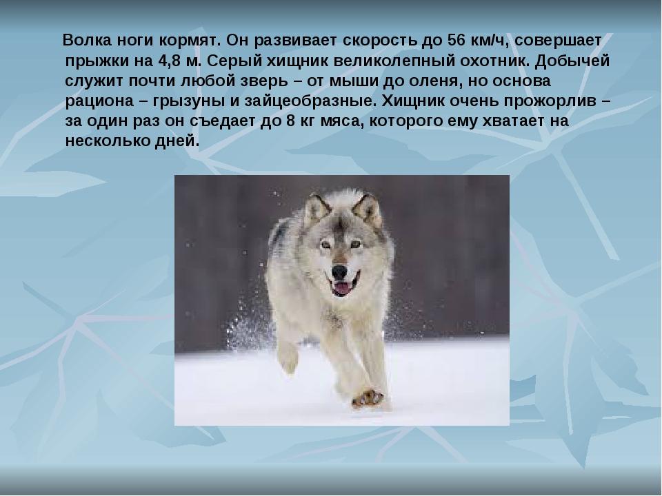 Волка ноги кормят. Он развивает скорость до 56 км/ч, совершает прыжки на 4,8...