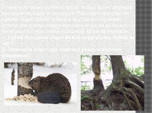 С помощью своих крепких зубов бобры валят деревья, растущие на берегах их пру
