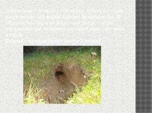 Бобры живут в хатках или норах, вход в которые расположен под водой в целях б