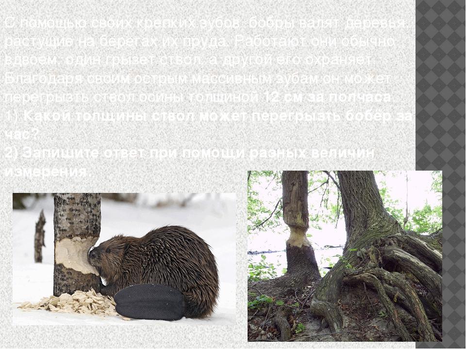 С помощью своих крепких зубов бобры валят деревья, растущие на берегах их пру...
