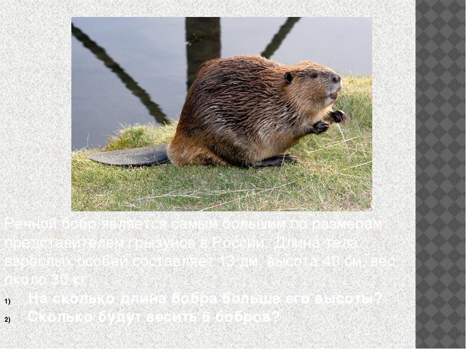 Речной бобр является самым большим по размерам представителем грызунов в Росс...